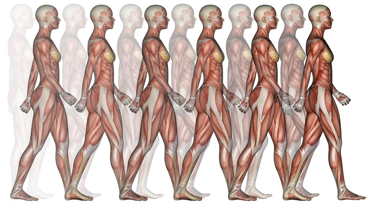 Muscles d'une personne en marche